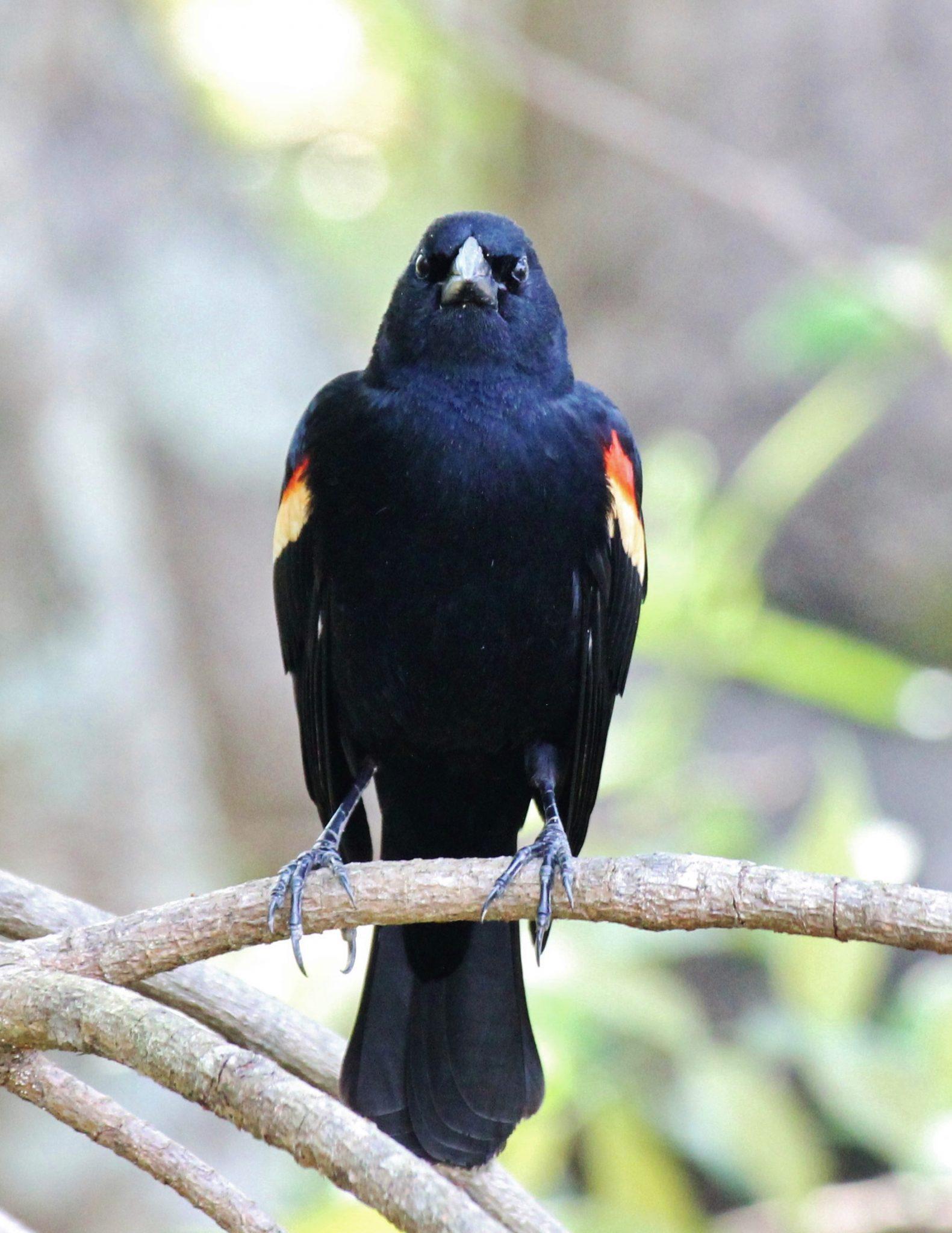 Redwing Blackbird Atten-Hut
